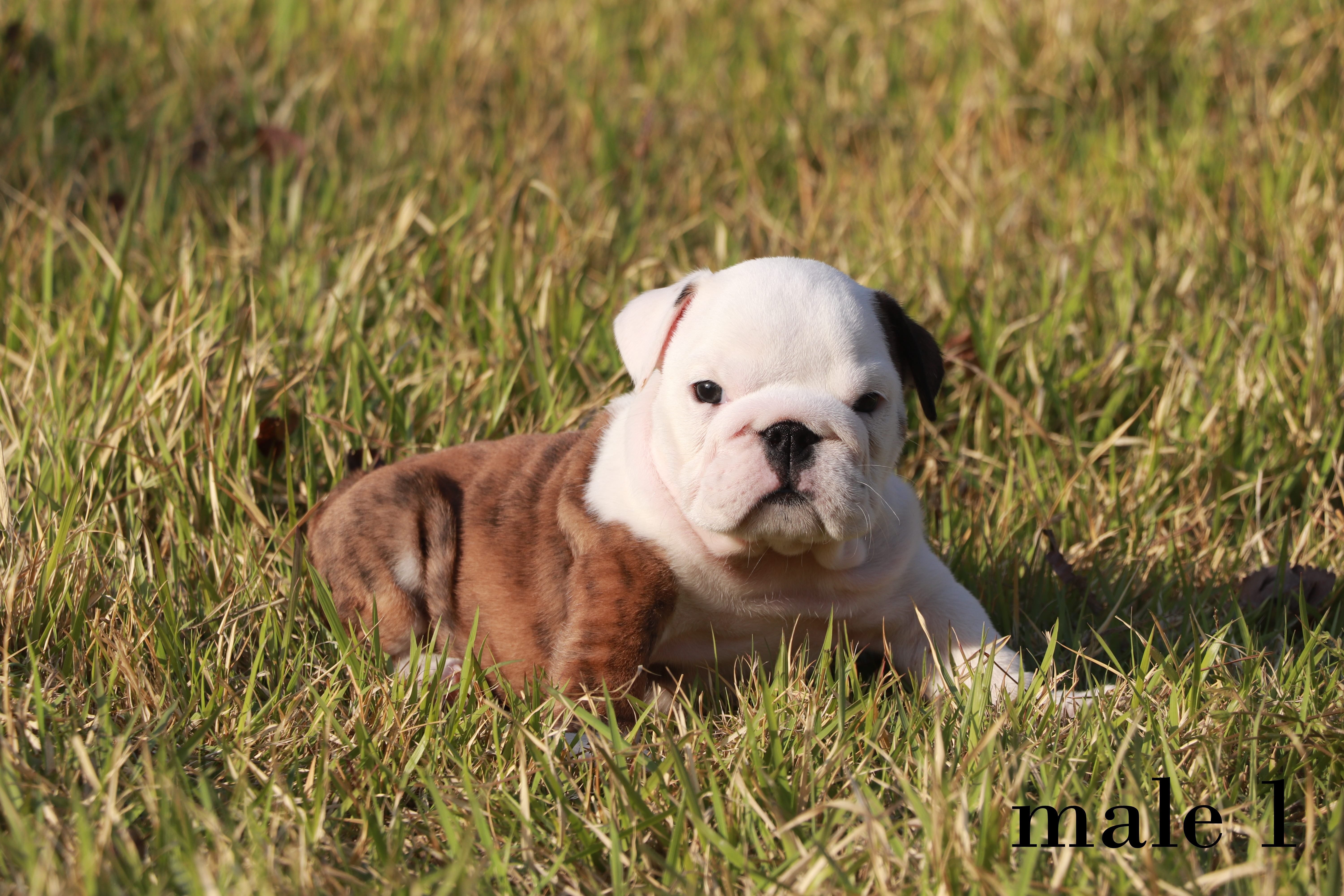 english bulldog male 1 (3).jpg