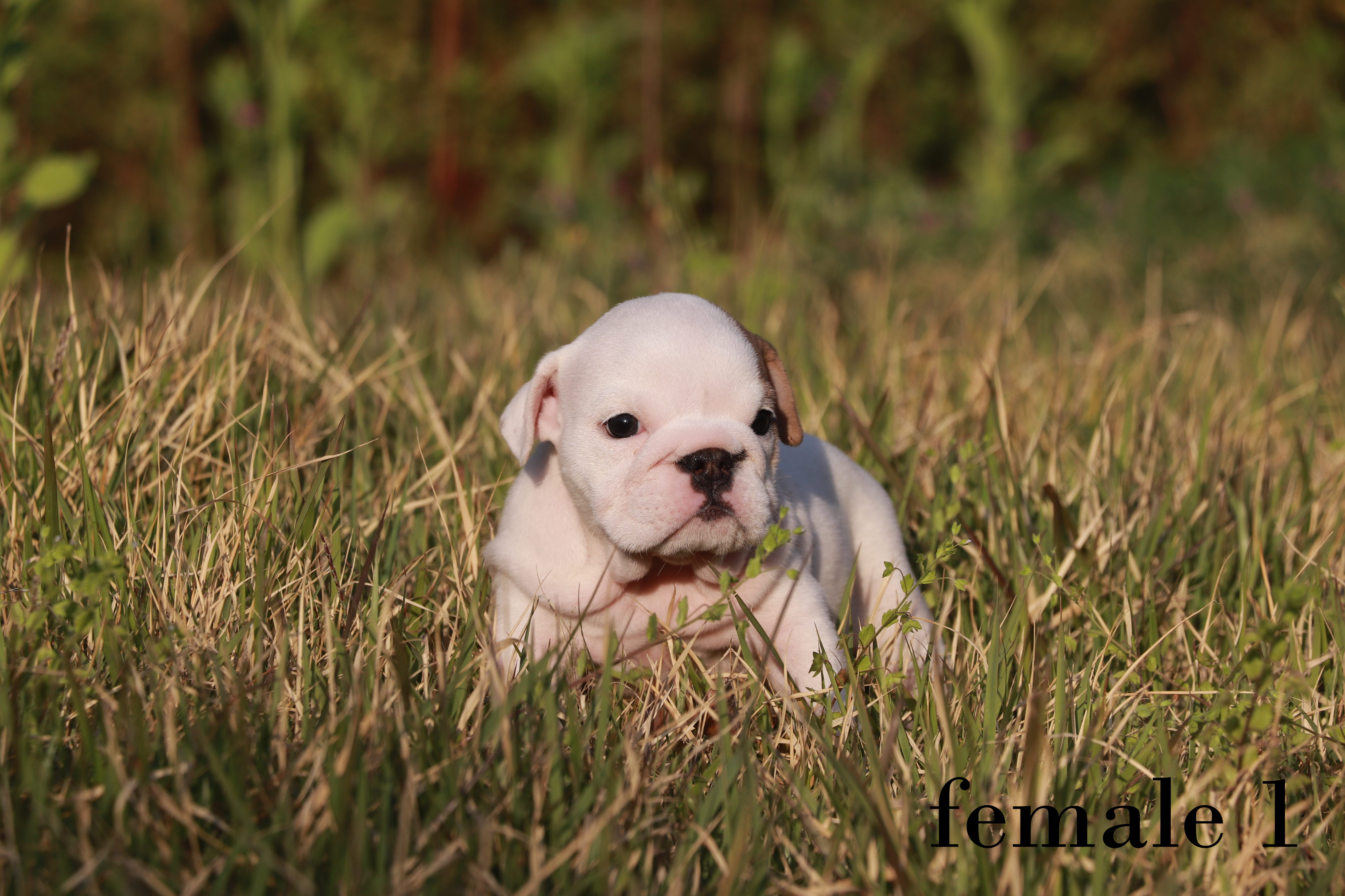 english bulldog female 1 (2).jpg